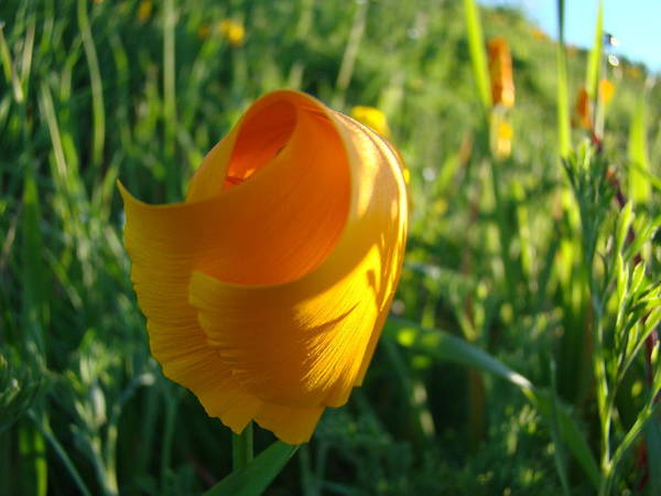 �poppies Artwork� Art Print featuring the photograph Contemporary Orange Poppy Flower Unfolding In Sunlight 10 Baslee Troutman by Baslee Troutman