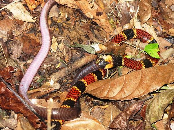 Coral Snake Art Print featuring the photograph Coral Snake Snack by Sabine Greger