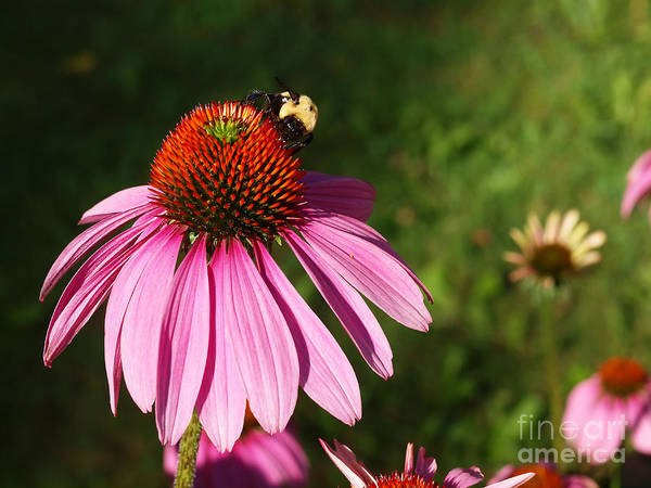 Corn Flower Art Print featuring the photograph Corn Flower With Bee by Valerie Morrison