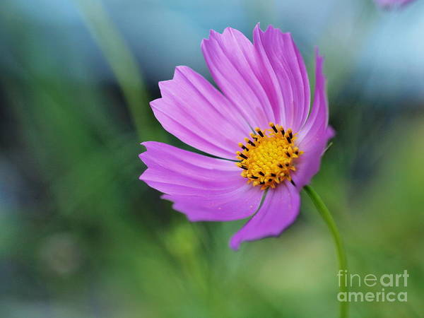 Cosmos Art Print featuring the photograph Cosmos by Valerie Morrison