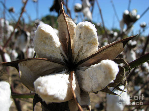 Cotton Art Print featuring the photograph Cotton by Amanda Barcon
