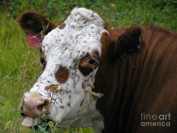 Tongue Art Print featuring the photograph Cow Tongue by Louise Magno