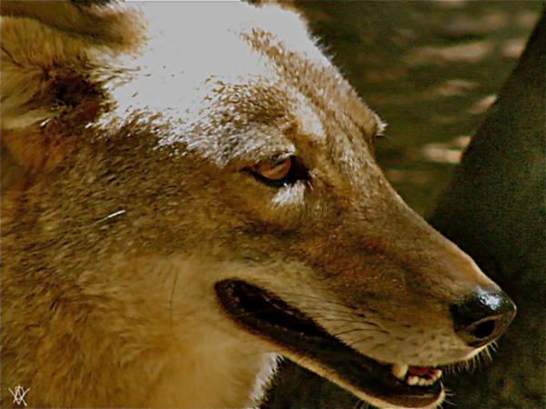 Coyote Profile Art Print featuring the photograph Coyote Profile by Debra   Vatalaro