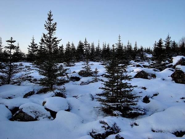Evergreens And Snow Art Print featuring the photograph Crisp Clear Morning by Marilynne Bull