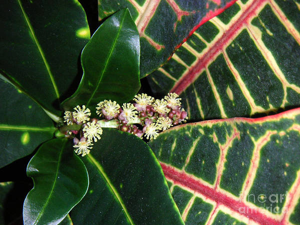 Nature Art Print featuring the photograph Croton Blooming by Lucyna A M Green
