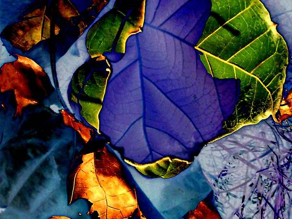 Sycamore Art Print featuring the photograph Curved Leaf by Beth Akerman
