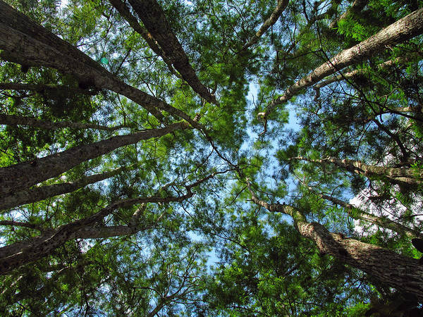 Tree Art Print featuring the photograph Cypress Tree Canopy by Juergen Roth