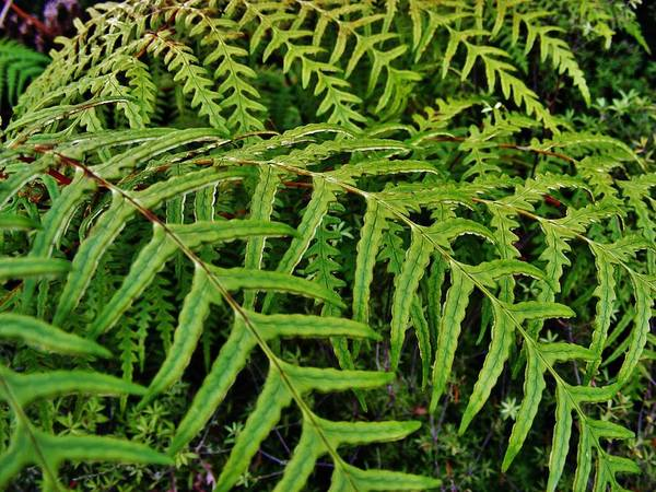 Fern Art Print featuring the photograph Dainty Fronds by CL Redding