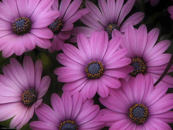 Nature Art Print featuring the photograph Daisies In Dakota by Ches Black