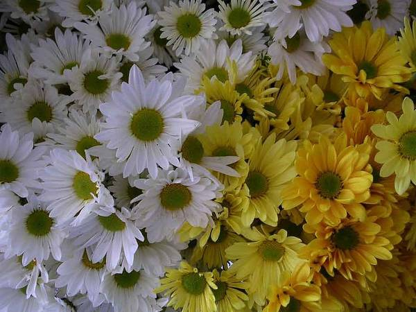 Daisies Art Print featuring the photograph Daisies by Nancy Ferrier