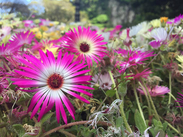 Pink Flower Art Print featuring the photograph Daisy Flower In Jeju by Elvie Lins