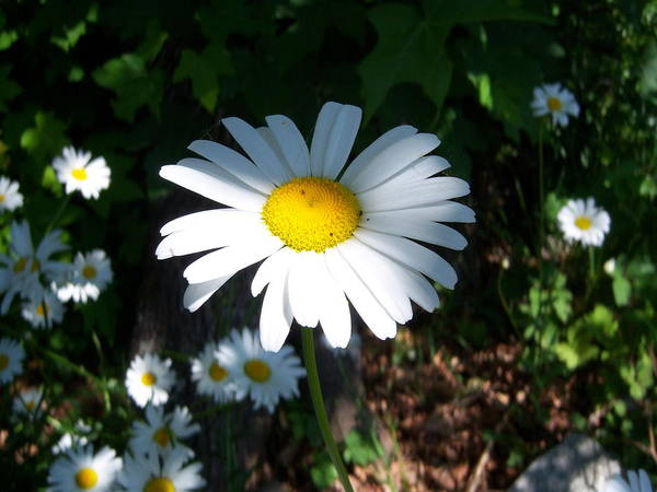 Daisy Art Print featuring the photograph Daisy by Ken Day
