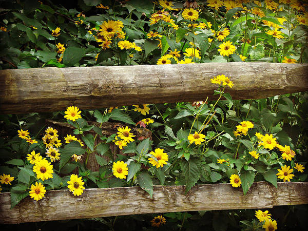Flowers Art Print featuring the photograph Daisy's Fence by Brenda Conrad