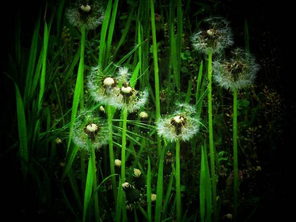 Virginia Art Print featuring the photograph Dandelions by Joyce Kimble Smith