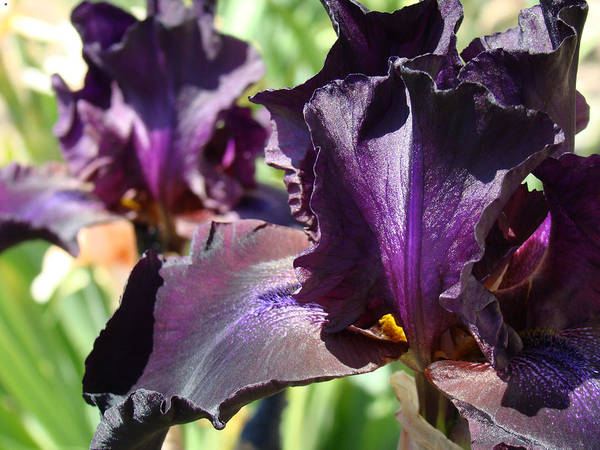 �irises Artwork� Art Print featuring the photograph Deep Purple Irises Dark Purple Irises Summer Garden Art Prints by Baslee Troutman