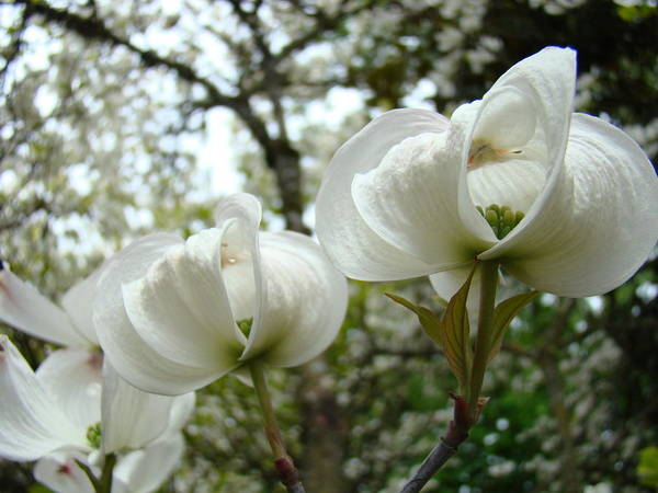 Dogwood Art Print featuring the photograph Dogwood Flowers White Dogwood Trees Blossoming 8 Art Prints Baslee Troutman by Baslee Troutman