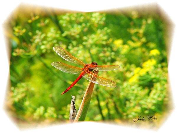 Dragon Fly Art Print featuring the photograph Dragon Fly by Judy Waller