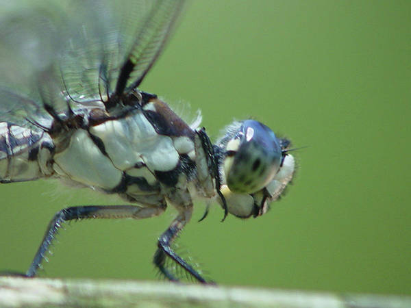 Dragonfly Art Print featuring the photograph Dragonfly by Tina B Hamilton