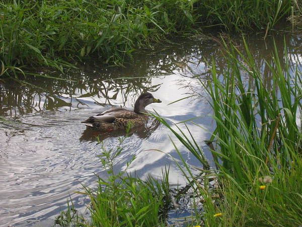 Duck Art Print featuring the photograph Duck Swimming In Stream by Melissa Parks