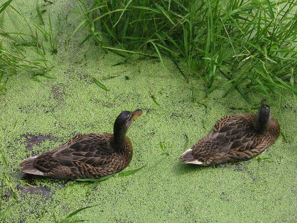 Duck Art Print featuring the photograph Ducks In Pond by Melissa Parks