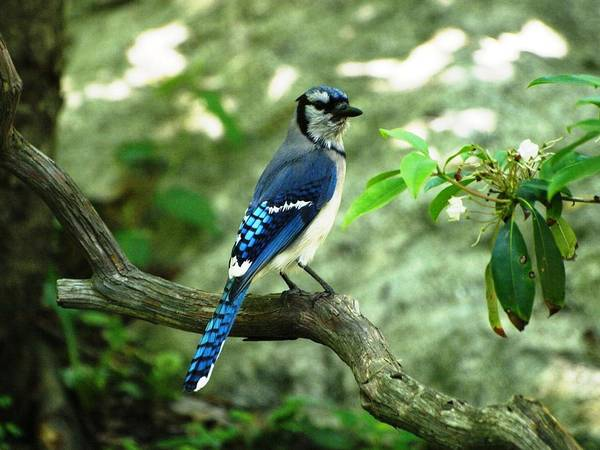 Birds Art Print featuring the photograph Eastern Blue Jay by Richard DeYoung