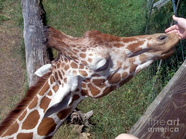 Giraffe Art Print featuring the photograph Eating Out Of My Hand by Emily Kelley