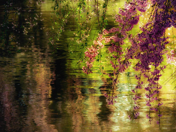 Cherry Blossoms Art Print featuring the photograph Echoes Of Monet - Cherry Blossoms Over A Pond - Brooklyn Botanic Garden by Vivienne Gucwa