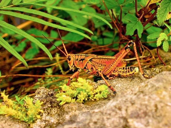 Animals Art Print featuring the photograph Everglades Locust by Dale Chapel