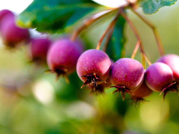 Berry Art Print featuring the photograph Fall Berries by Marilyn Hunt