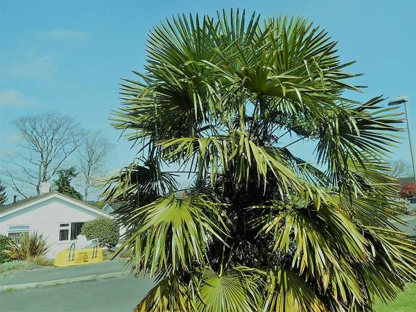 Palm Art Print featuring the photograph Fan Palm Tree by Roy Birkby