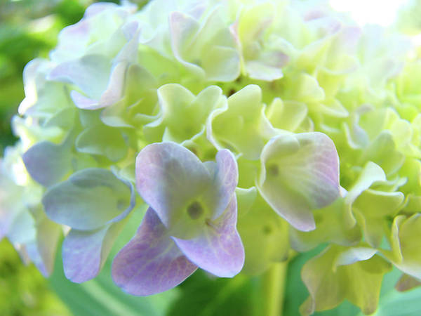 Hydrangea Art Print featuring the photograph Fine Art Prints Hydrangeas Floral Nature Garden Baslee Troutman by Baslee Troutman