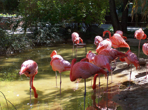 Nature Art Print featuring the photograph Flamingo Land by Claude Marshall