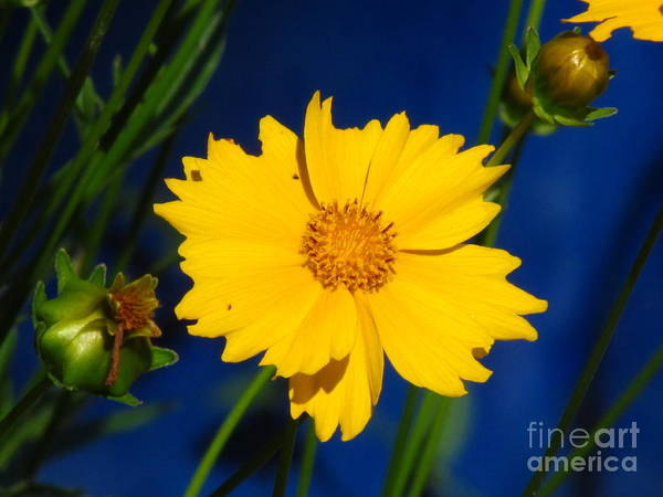 Ontario Art Print featuring the photograph Flower Yellow by Donica Abbinett