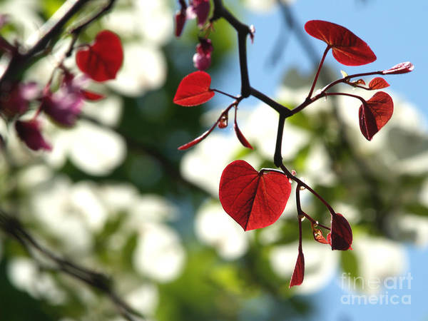 Backlit Art Print featuring the photograph Forest Pansy Redbud Leaves In Spring by Anna Lisa Yoder