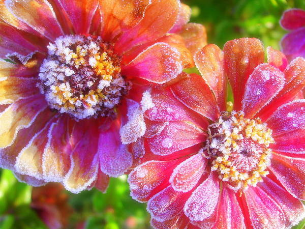 Frost Art Print featuring the photograph Frosty Morning Zinnias by Janet Telander