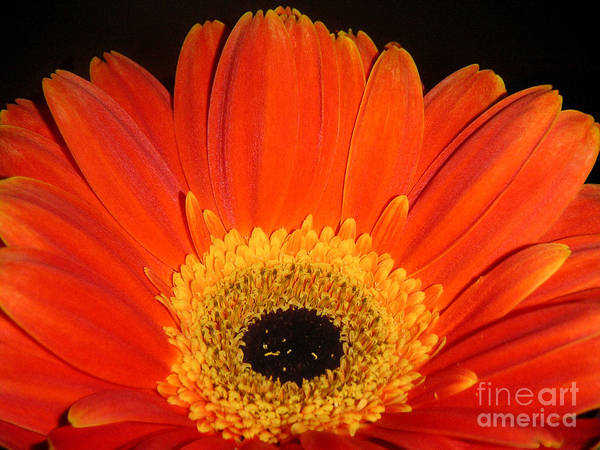 Nature Art Print featuring the photograph Gerbera Daisy - Glowing In The Dark by Lucyna A M Green