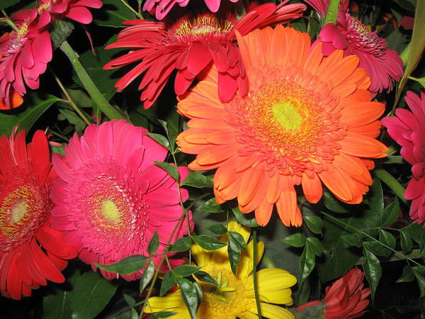 Daisy Art Print featuring the photograph Gerbera's by Jim Cooper