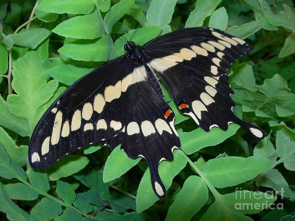 Giant Art Print featuring the photograph Giant Swallowtail Butterfly by Joanne Young