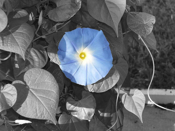 Blue Morning Glory Railroad Vine Plant Vines Art Print featuring the photograph Glory Blue by Lindsay Clark
