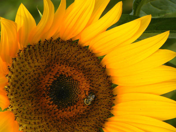 Sunflower Art Print featuring the photograph Golden Sunflower by Rosalie Scanlon