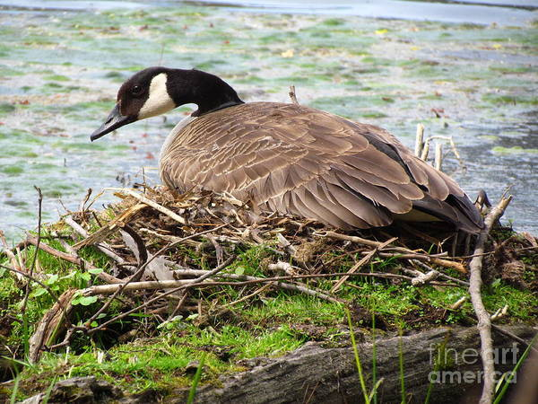 Goose Art Print featuring the photograph Goose by Donica Abbinett