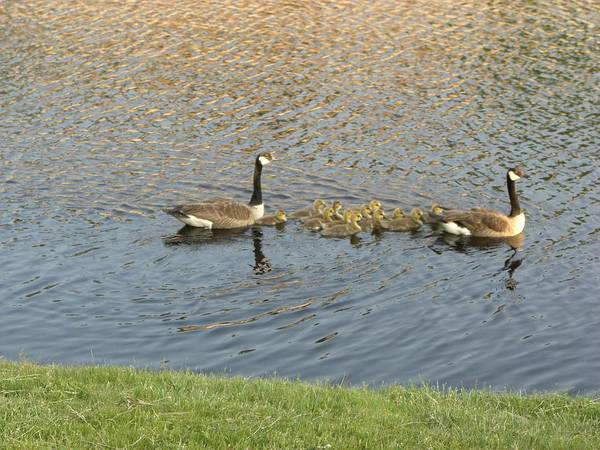 Geese Art Print featuring the photograph Goose Pond 1 by Nancy Ferrier