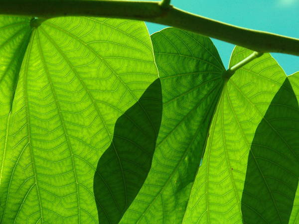 Photo Art Print featuring the photograph Grape Leaves by Florene Welebny