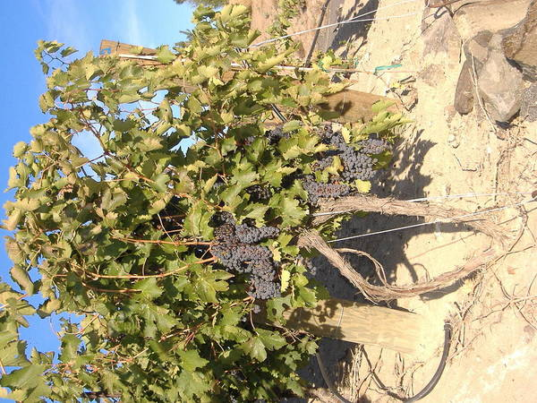 Grape's Are The Best Art Print featuring the photograph Grape's At Harvest by Alice Eckmann
