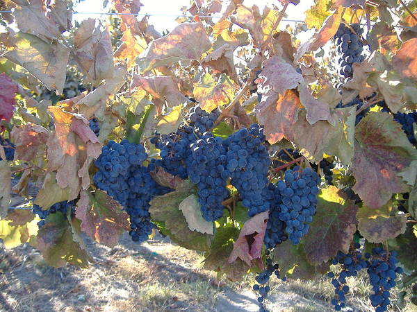 Wine Country Of Washington State Art Print featuring the photograph Grape's At There Best by Alice Eckmann