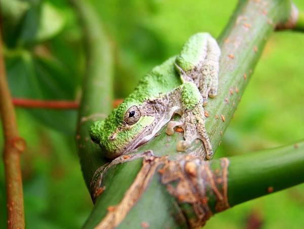 Green Art Print featuring the photograph Green Tree Frog by Mike Quinn