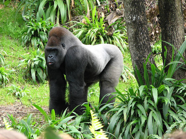 Gorilla Art Print featuring the photograph Grumpy Gorilla IIi by Stacey May