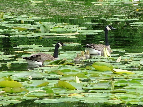 Canadian Geese Art Print featuring the photograph Guarding Our Young by Nick Gustafson