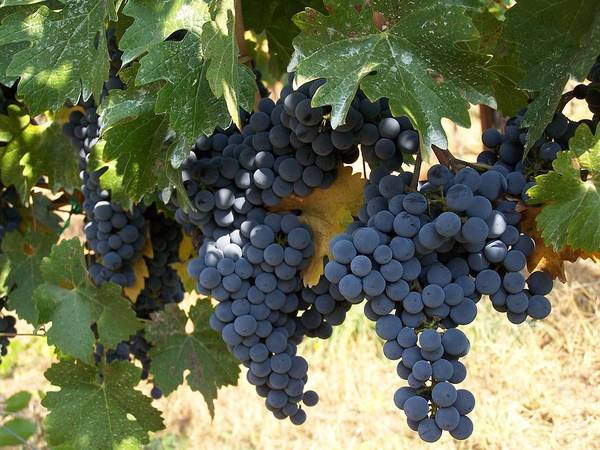 Grapes Art Print featuring the photograph Harvest Time by Gale Cochran-Smith