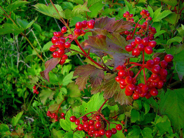 Hi Bush Cranberries Berries Art Print featuring the photograph Hi Bush Cranberry Close Up by Joanne Smoley